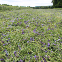 Rolled and crimped vetch