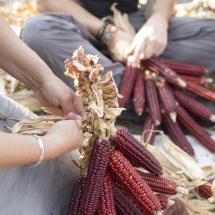 Mohawk-Red-Corn-at-the-Farm-Hub