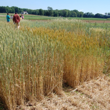 Cornell small grains field day at the Farm Hub, July 2014