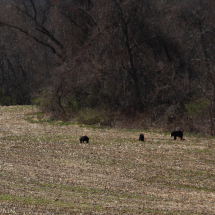 A family of bears came to pick through corn left over from last year's harvest in the fields across from the rail trail on Route 209.
