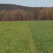Some of the earliest greenery on the farm has come from cover crops seeded in fall 2015. The lighter green on the left side of the photo is a field of triticale. The darker green to the right is rye.