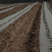 Broccoli seedlings were transplanted to the market garden in April. Broccoli and cauliflower will be the focus of much of the work in our ProFarmer training program this year.