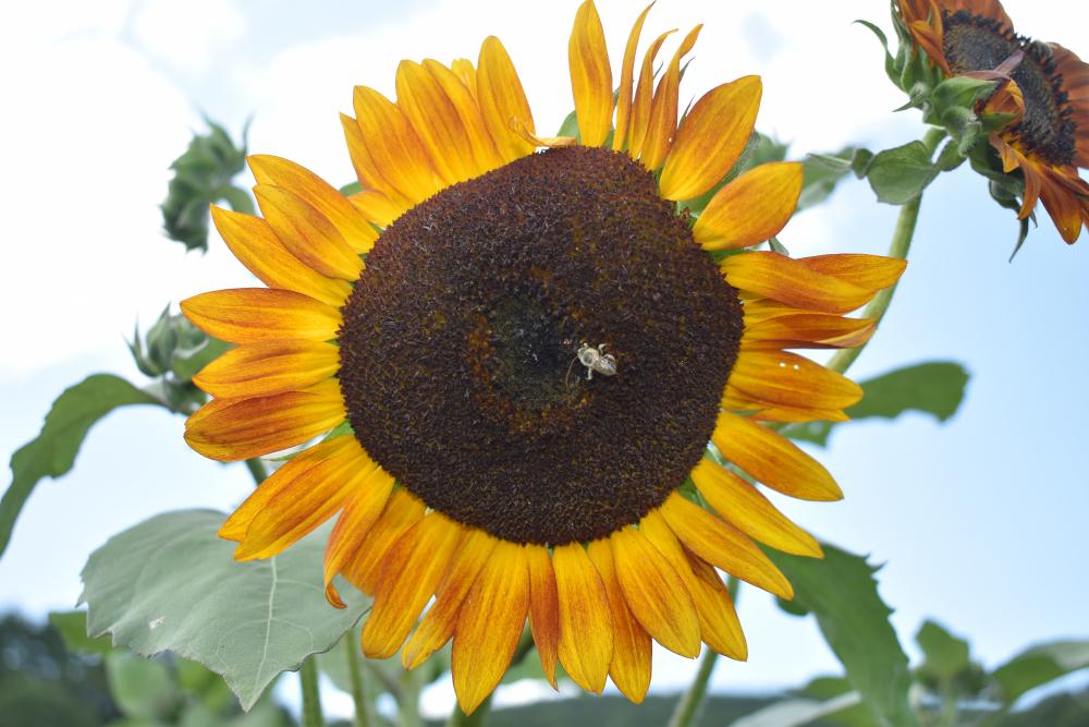 FH-Sunflower-12