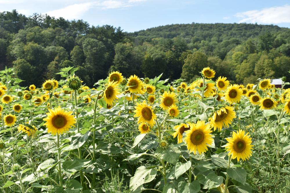 FH-Sunflower-6