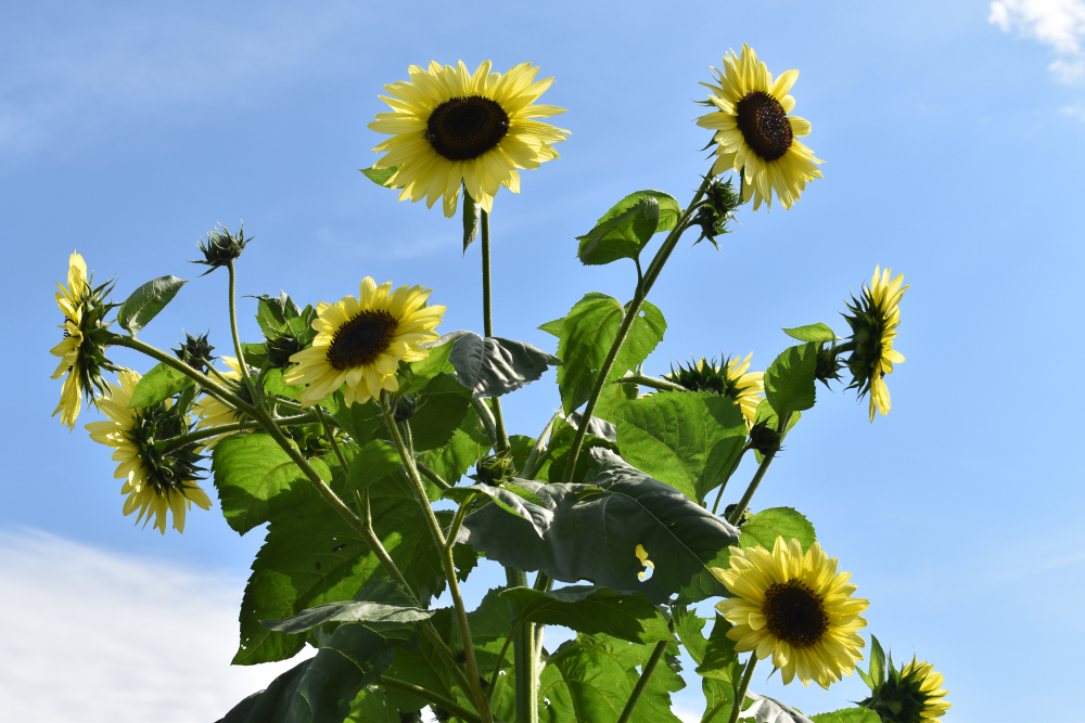 FH-Sunflower-8