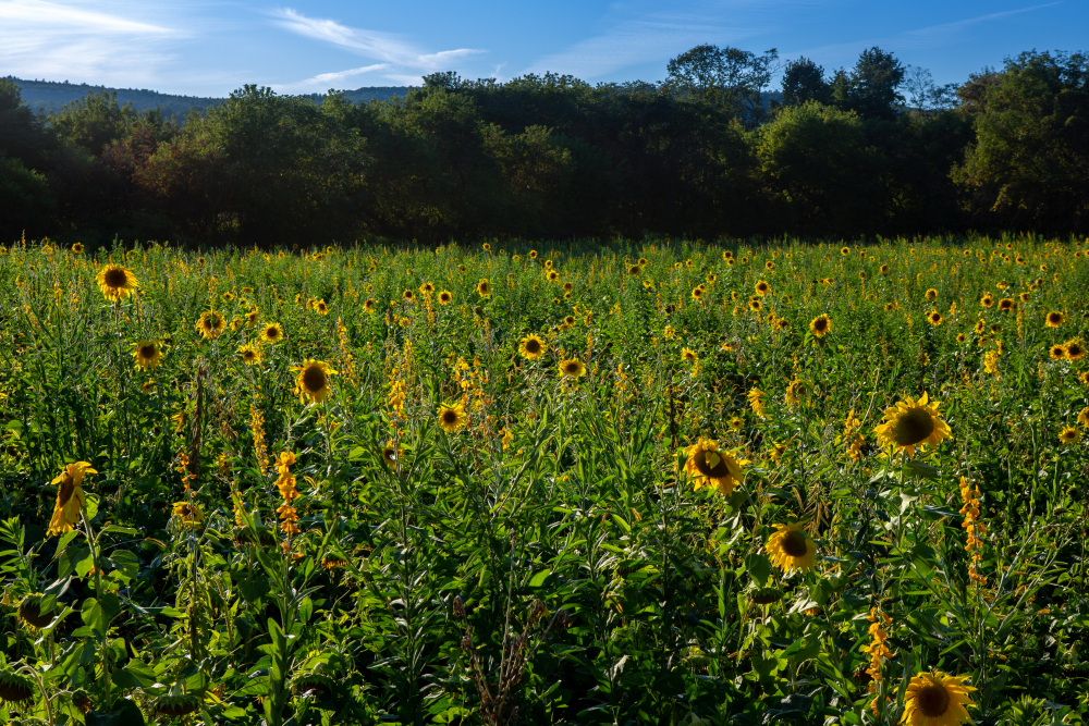 FH-Sunflower1