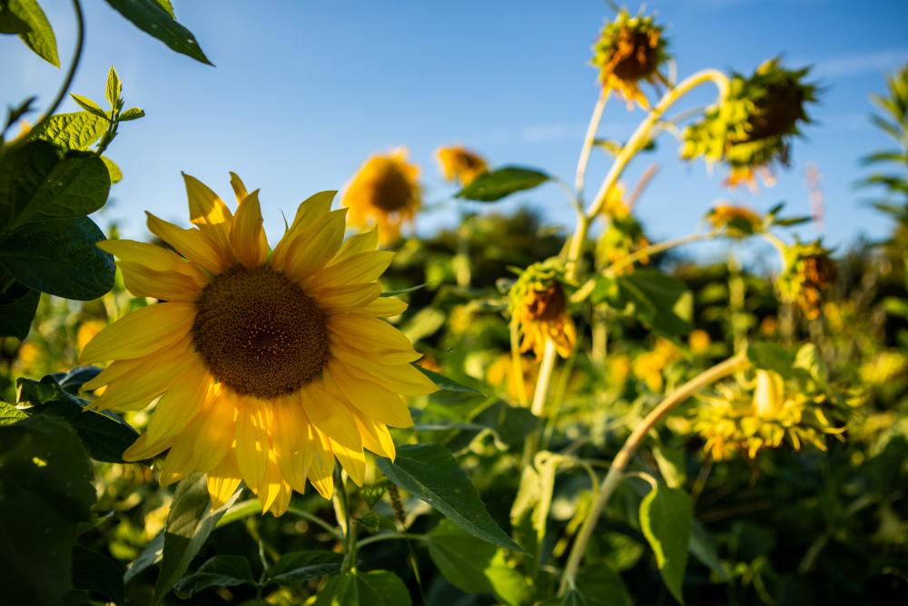 FH-Sunflower2