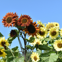 FH-Sunflower-10