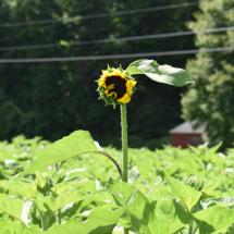 FH-Sunflower-13