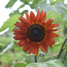 FH-Sunflower-15