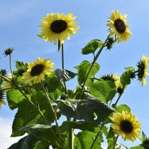 FH-Sunflower-8