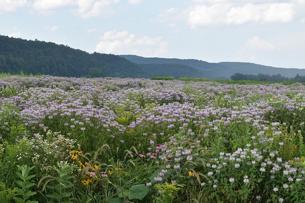 Native meadows