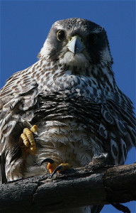Peregrine Flacon, photo courtesy of Peter Schoenberger