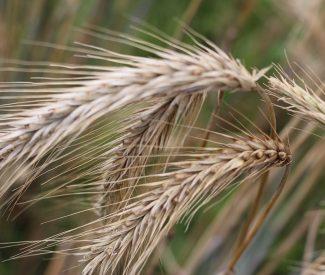 small grains 1